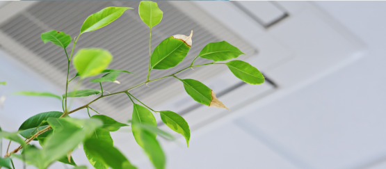 Indoor plant with discolored leaves below an office building air conditioning vent.